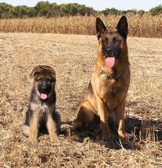 German Shepherds at Cher Car Kennels