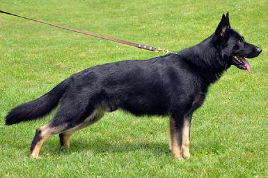 "German Shepherd CH ""Grimm"" at Cher Car Kennels"