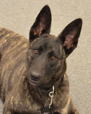 Dutch Shepherd Grch Lace At Cher Car Kennels