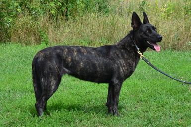 "Dutch Shepherd ""Scarlett"" at Cher Car Kennels"