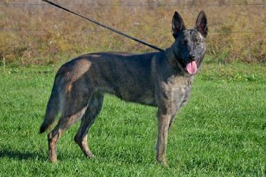 "Dutch Shepherd ""Xis"" at Cher Car Kennels"