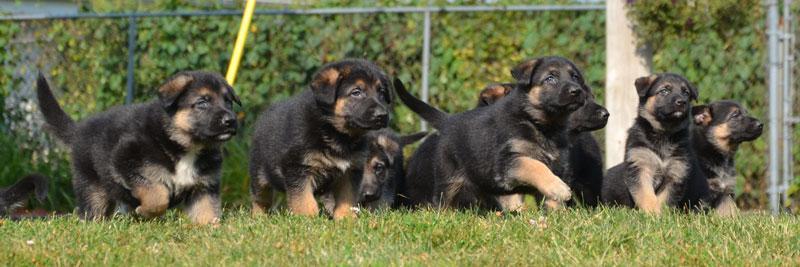 German Shepherd puppies, Dutch Shepherd puppies, Belgian Malinois ...