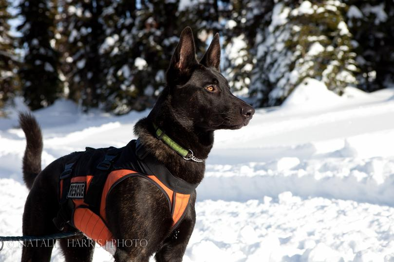 Lisa Weber's dual purpose Dutch Shepherd Cher Car's Canada Goose -  2014 British Columbia Search Dog Association TOP DOG (Certified in Avalanche and Wilderness Search) and JIBC (Justice Institute of British Columbia) Narcotics Detection Dog